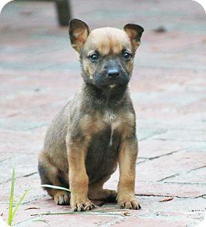 German Shepherd Dog/Labrador Retriever Mix Puppy for adoption in Chicago, Illinois - Dixie