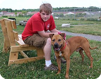 American Pit Bull Terrier Mix Dog for adoption in Elyria, Ohio - Buddy