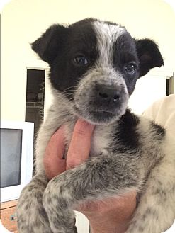 Australian Cattle Dog/Pointer Mix Puppy for adoption in Cave Creek, Arizona - Micha