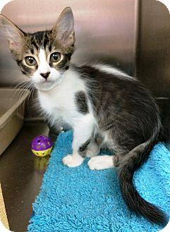 Domestic Mediumhair Kitten for adoption in Lake Elsinore, California - Saran