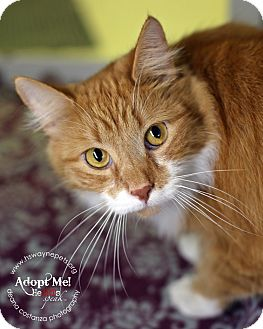 Domestic Mediumhair Cat for adoption in Lyons, New York - Han