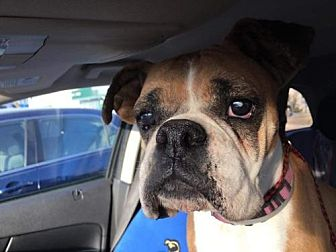 Boxer Dog for adoption in Hurst, Texas - Allegra Cole