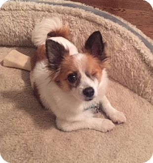 Papillon Mix Dog for adoption in Harrison, New York - Miso