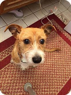 Corgi/Terrier (Unknown Type, Small) Mix Dog for adoption in Fremont, California - Oscar