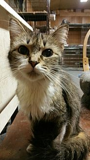Domestic Mediumhair Cat for adoption in Morganton, North Carolina - Spunky