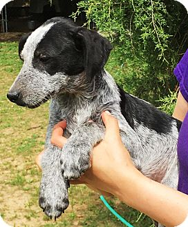 German Shorthaired Pointer Mix Puppy for adoption in Harrisburg, Pennsylvania - Lukas - such and handsome boy