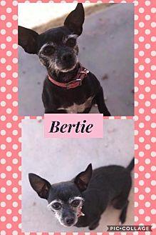 Chihuahua Mix Dog for adoption in Tucson, Arizona - Bertie