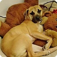 Pit Bull Terrier Mix Dog for adoption in Boston, Massachusetts - NOODLE