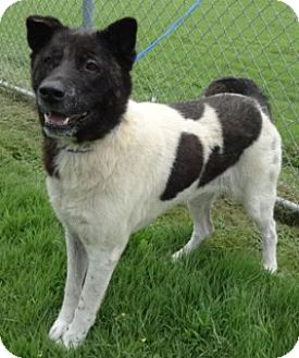 Akita Mix Dog for adoption in Olive Branch, Mississippi - Panda