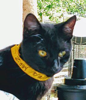 American Shorthair Cat for adoption in Texarkana, Arkansas - Ziggy