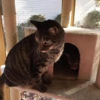 Domestic Shorthair/Domestic Shorthair Mix Cat for adoption in Cumming, Georgia - Isaac