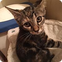 Domestic Shorthair Kitten for adoption in Bensalem, Pennsylvania - Arya