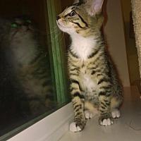 Adopt A Pet :: Galadriel - LJ - Burlington, WA