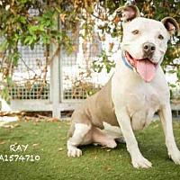 Adopt A Pet :: RAY - Los Angeles, CA