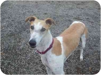 Greyhound Dog for adoption in Roanoke, Virginia - Luck