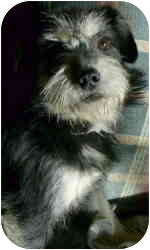 Terrier (Unknown Type, Small) Mix Dog for adoption in Sacramento, California - Abigail