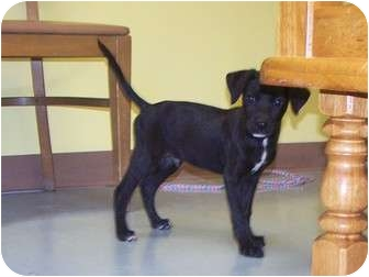 Shepherd (Unknown Type) Mix Puppy for adoption in Rockingham, North Carolina - Skipper