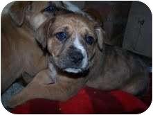 St. Bernard Mix Puppy for adoption in Cranford, New Jersey - Dober