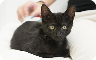 Domestic Shorthair Kitten for adoption in Houston, Texas - Prince Charming