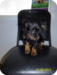 Chihuahua Mix Puppy for adoption in Shawnee Mission, Kansas - Buttercup Belle