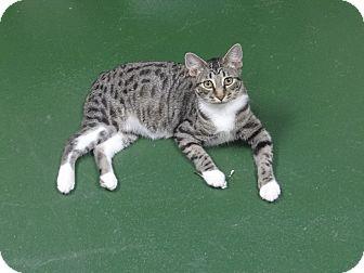 Manx Cat for adoption in Peachtree City, Georgia - Corki
