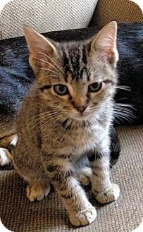 Domestic Shorthair Kitten for adoption in Knoxville, Tennessee - Geno
