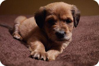 Springer Spaniel Mix Puppy for adoption in Hampton, Virginia - Spaniel Mix Pups