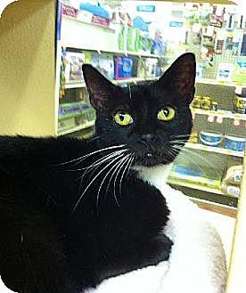 Domestic Shorthair Cat for adoption in Miami, Florida - Kalica