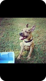 Dutch Shepherd/Labrador Retriever Mix Puppy for adoption in Memphis, Tennessee - HARLEY