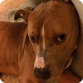 American Staffordshire Terrier Mix Dog for adoption in Long Beach, New York - Max