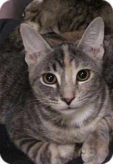 Domestic Shorthair Kitten for adoption in New York, New York - Cupcake