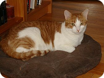Domestic Shorthair Cat for adoption in River Edge, New Jersey - Ozzie