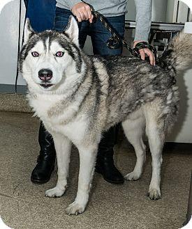 Husky Dog for adoption in New York, New York - Kahn