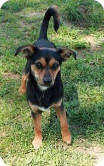 Chihuahua/Dachshund Mix Dog for adoption in Newark, New Jersey - Richard