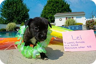 Chihuahua/Beagle Mix Puppy for adoption in Forest Hill, Maryland - Lei