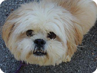 Shih Tzu/Lhasa Apso Mix Dog for adoption in Harrisonburg, Virginia - Roonie