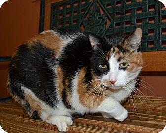 Calico Cat for adoption in Michigan City, Indiana - Cali