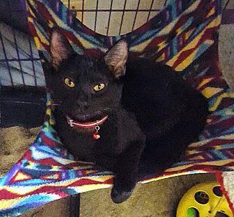 Domestic Shorthair Kitten for adoption in San Ramon, California - Virginia