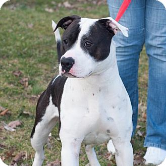 Staffordshire Bull Terrier Mix Dog for adoption in New Martinsville, West Virginia - Pandy/Harley