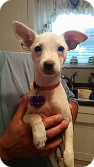 Chihuahua Mix Puppy for adoption in Providence, Rhode Island - Junebug