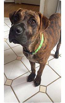 Bullmastiff Mix Dog for adoption in Lima, Pennsylvania - Tiger