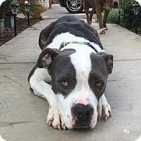 Adopt A Pet :: Brutus - Dana Point, CA