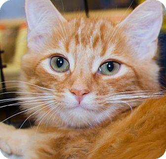 Domestic Mediumhair Kitten for adoption in Irvine, California - Truffle
