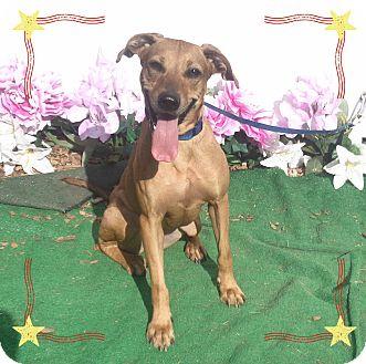 Rhodesian Ridgeback/Labrador Retriever Mix Dog for adoption in Marietta, Georgia - DOLLY see also JOLENE