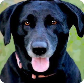 Labrador Retriever Dog for adoption in Wakefield, Rhode Island - MAGGIE(HER OWNER DIED-PLS READ