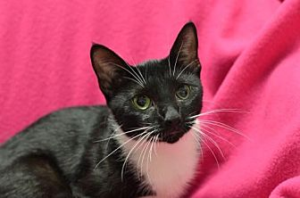 Domestic Shorthair Cat for adoption in Atlanta, Georgia - Celestia161544