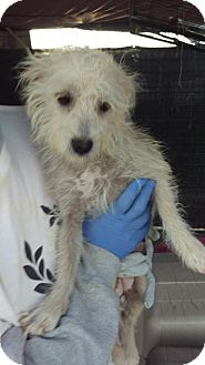 Terrier (Unknown Type, Small) Mix Dog for adoption in Las Vegas, Nevada - Coco