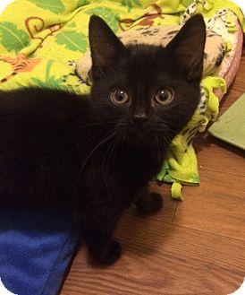 Domestic Mediumhair Kitten for adoption in Plainville, Connecticut - Maia