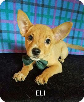 Corgi Mix Puppy for adoption in Pluckemin, New Jersey - Eli