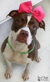 American Staffordshire Terrier Mix Dog for adoption in Yukon, Oklahoma - Truffles